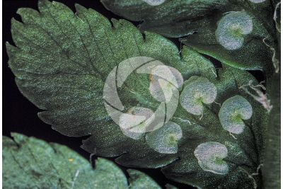 Dryopteris filix-mas. Male fern. Leaf