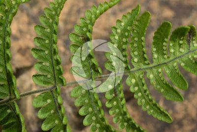 Gymnocarpium robertianum. Limestone fern. Leaf