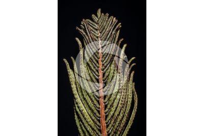 Matteuccia struthiopteris. Sporofillo