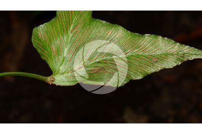 Phyllitis sagittata. Leaf