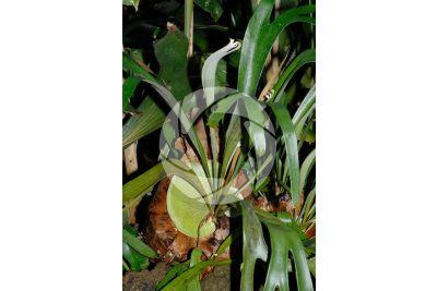 Platycerium bifurcatum. Elkhorn fern