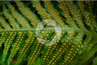 Polypodium macaronesicum. Leaf