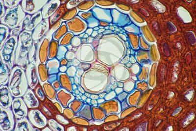 Pteridium sp. Rhizome. Leaf trace. Transverse section. 500X