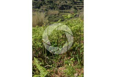 Pteridium aquilinum. Bracken