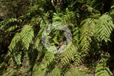 Woodwardia radicans. Chain fern. Leaf