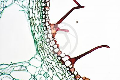 Equisetum arvense. Field horsetail. Rhizome. Transverse section. 250X