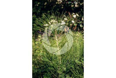 Equisetum arvense. Equiseto dei campi. Fusto sterile
