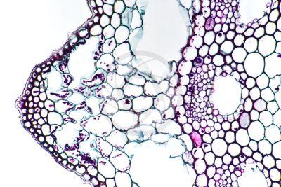 Equisetum arvense. Field horsetail. Sterile stem. Eustele. Transverse section. 250X