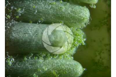 Equisetum arvense. Equiseto dei campi. Strobilo. Sezione trasversale. 45X