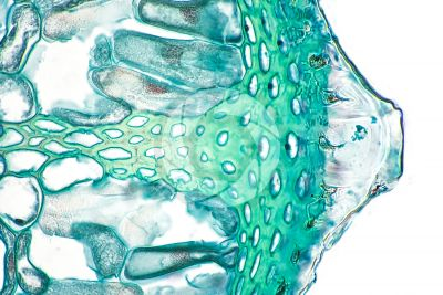 Equisetum fluviatile. Water horsetail. Rhizome. Transverse section. 500X