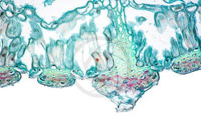 Equisetum fluviatile. Equiseto dei fiumi. Rizoma. Stoma. Sezione trasversale. 250X