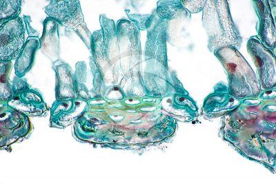Equisetum fluviatile. Equiseto dei fiumi. Rizoma. Stoma. Sezione trasversale. 500X