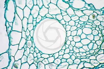 Equisetum intermedium. Rhizome. Vascular bundle. Transverse section. 500X