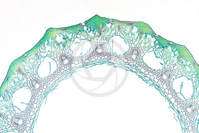 Equisetum intermedium. Sterile stem. Transverse section. 64X