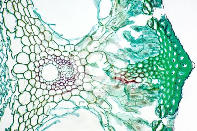 Equisetum intermedium. Sterile stem. Vascular bundle. Transverse section. 250X