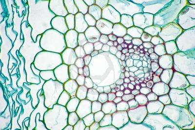 Equisetum intermedium. Sterile stem. Vascular bundle. Transverse section. 500X