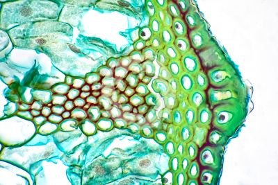 Equisetum intermedium. Sterile stem. Transverse section. 500X