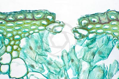 Equisetum intermedium. Sterile stem. Stoma. Transverse section. 500X