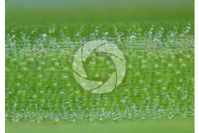 Equisetum palustre. Equiseto palustre. Fusto sterile. 60X