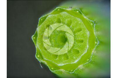 Equisetum palustre. Equiseto palustre. Fusto sterile. Eustele. Sezione trasversale. 15X