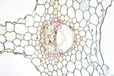 Equisetum palustre. Equiseto palustre. Fusto sterile. Eustele. Sezione trasversale. 250X