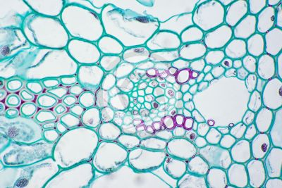Equisetum robustum. Sterile stem. Vascular bundle. Transverse section. 500X