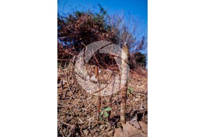Equisetum telmateja. Equiseto massimo. Fusto fertile