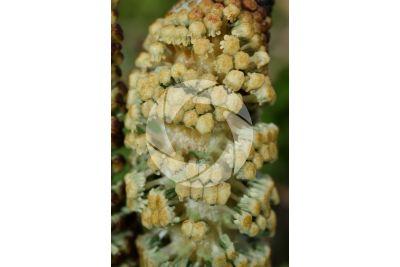 Equisetum telmateja. Equiseto massimo. Strobilo