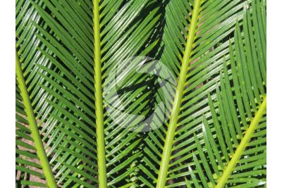 Cycas revoluta. Sago palm. Leaves