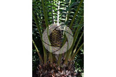 Encephalartos laurentianus. Malele. Female plant