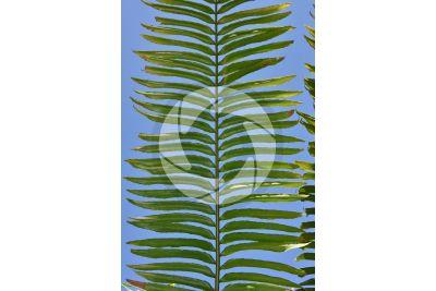 Encephalartos laurentianus. Malele. Leaf
