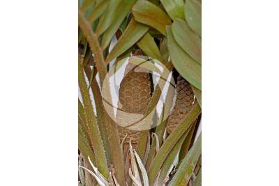 Zamia sp. Male plant. Male cone