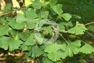 Ginkgo biloba. Leaf