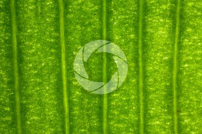 Ginkgo biloba. Leaf. 32X