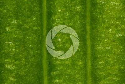 Ginkgo biloba. Leaf. 64X