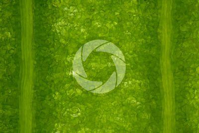 Ginkgo biloba. Leaf. 125X