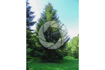 Abies alba. European silver fir