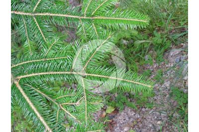 Abies alba. European silver fir. Leaf. Upper surface