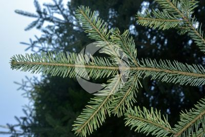 Abies alba. European silver fir. Leaf. Lower surface