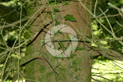 Abies cephalonica. Greek fir. Stem