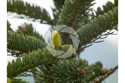 Abies cephalonica. Greek fir. Female strobilus