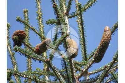 Abies cephalonica. Greek fir. Strobilus