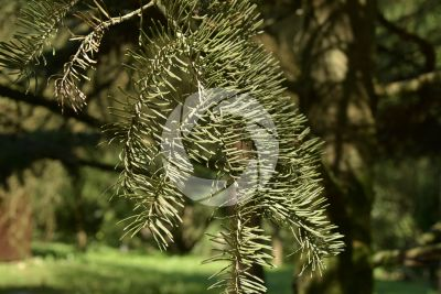 Abies concolor. White fir. Leaf