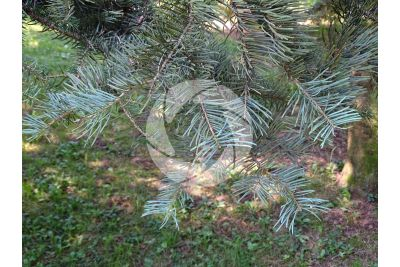 Abies concolor. White fir. Leaf. Upper surface