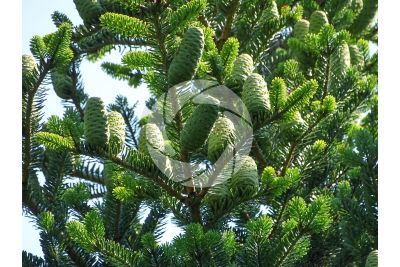 Abies koreana. Korean fir. Strobilus