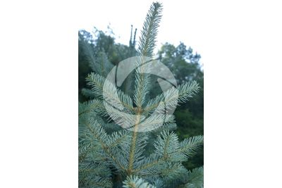 Abies magnifica. Red fir. Leaf