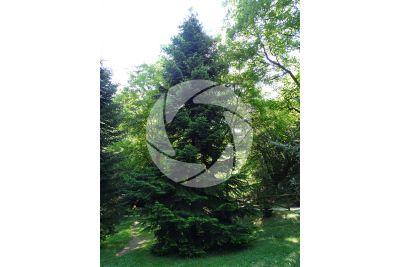 Abies nordmanniana. Caucasian fir