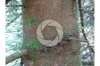 Abies nordmanniana. Caucasian fir. Stem