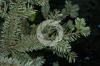Abies nordmanniana. Caucasian fir. Leaf. Lower surface