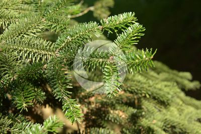 Abies numidica. Algerian fir. Stem. Upper surface